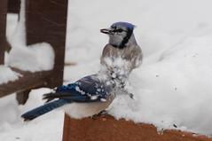emberizidae(0.0), crow-like bird(0.0), wildlife(0.0), animal(1.0), winter(1.0), wing(1.0), snow(1.0), fauna(1.0), blue(1.0), blue jay(1.0), beak(1.0), bird(1.0),