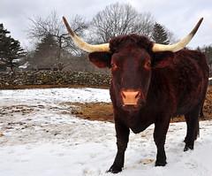 wildlife(0.0), cattle-like mammal(1.0), animal(1.0), texas longhorn(1.0), bull(1.0), winter(1.0), snow(1.0), mammal(1.0), horn(1.0), ox(1.0), fauna(1.0), cattle(1.0), yak(1.0),