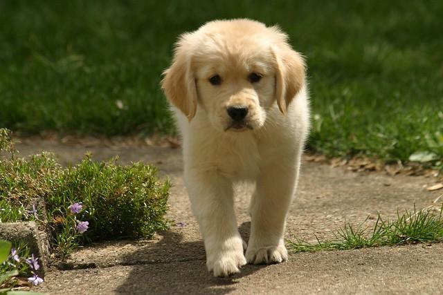 Sweet Sad Puppy Golden Retriever