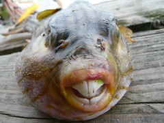 The world 39 s best photos of puffer and teeth flickr hive mind for Freshwater fish with teeth