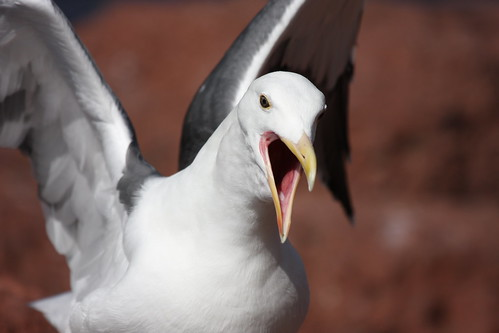 Photo:Angry Seagull By:San Diego Shooter