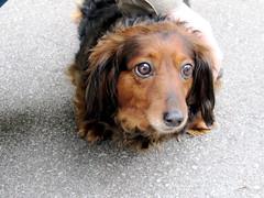 hound(0.0), basset artã©sien normand(0.0), field spaniel(0.0), setter(0.0), dachshund(0.0), dog breed(1.0), animal(1.0), dog(1.0), pet(1.0), king charles spaniel(1.0), english cocker spaniel(1.0), carnivoran(1.0),