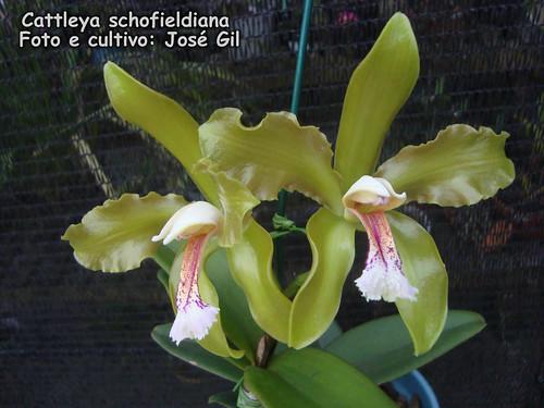 Cattleya schofieldiana