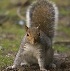 Gray Squirrel 1