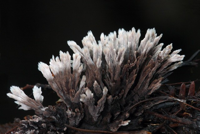 Fetid False Coral