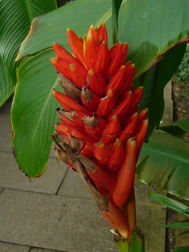 Musa coccinea Red banana