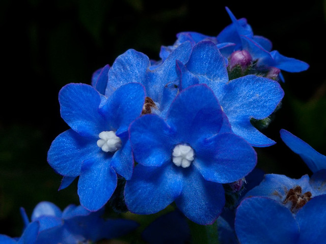 Tiny Blue Flowers Flickr Photo Sharing