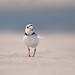 piping plover - Explorer Jun 19, 2011 #43 by Kenny Lee's Wild Images