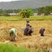 Rice Harvest - Mto wa Mbu, Tanzania