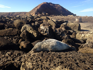 Basking Seal