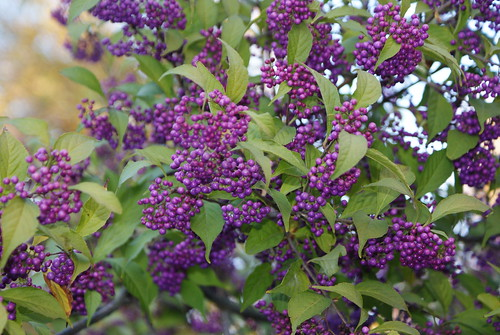 Callicarpa, Brooklyn Botanical Gardens, Oct 7 2009 186 | by lawrence's lenses