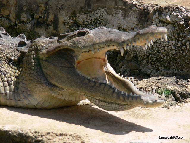 jamaican crocodile - photo #3