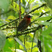 Red-throated Ant-Tanager - Photo (c) Carol Foil, some rights reserved (CC BY-NC-ND)