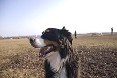border collie(0.0), australian shepherd(0.0), dog breed(1.0), animal(1.0), dog(1.0), pet(1.0), mammal(1.0), bernese mountain dog(1.0),
