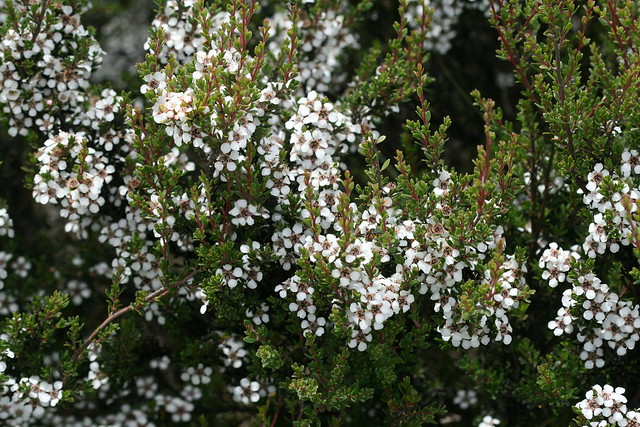 Leptospermum scoparium (Tea-tree)