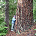 Ancient forest threatened by LNG pipeline by F.Eatherington