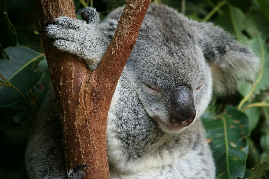 Sleeping Koala, via flickr