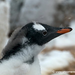 Shedding Baby Penguin Feathers - Antarctica