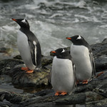 Deciding Whether to Go in the Water - Antarctica