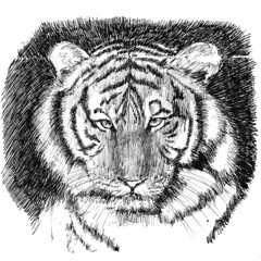 big cats, sketch, tiger, monochrome photography, drawing, monochrome, illustration, black-and-white,