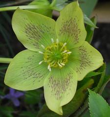 flower, plant, hellebore, flora, petal,