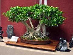 flower(0.0), produce(0.0), floristry(0.0), plant(1.0), sageretia theezans(1.0), houseplant(1.0), bonsai(1.0),