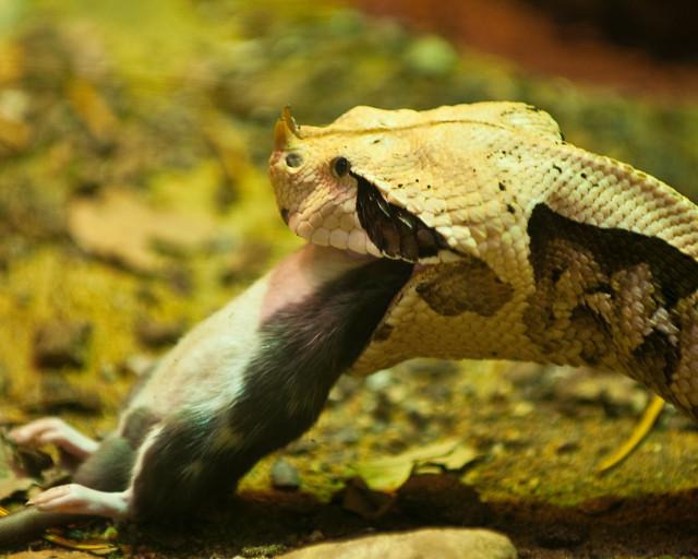 Snake eats mouse | Flickr - Photo Sharing! - photo#34