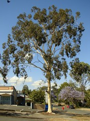 His Majesty Eucalypt