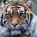 Sumartran Tiger-Panthera Tigris Sumatrae