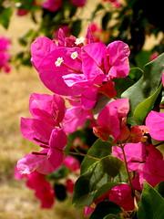 blossom(0.0), shrub(0.0), lathyrus latifolius(0.0), annual plant(1.0), flower(1.0), leaf(1.0), plant(1.0), macro photography(1.0), flora(1.0), snapdragon(1.0), pink(1.0), petal(1.0),