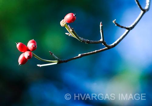 Cornus florida berries.jpg