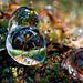Moss sporangiums in ice drops / Esporangios del musgo en un mundo de cristal by galayos