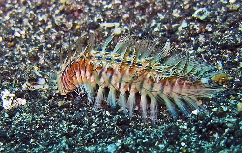 Peacock bristle worm - Chloeia flava