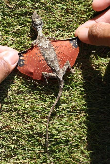 Draco beccarii: Indonesia