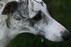 dog sports(0.0), animal sports(0.0), sports(0.0), dog breed(1.0), animal(1.0), hound(1.0), dog(1.0), whippet(1.0), galgo espaã±ol(1.0), pet(1.0), lurcher(1.0), greyhound(1.0), close-up(1.0), carnivoran(1.0),