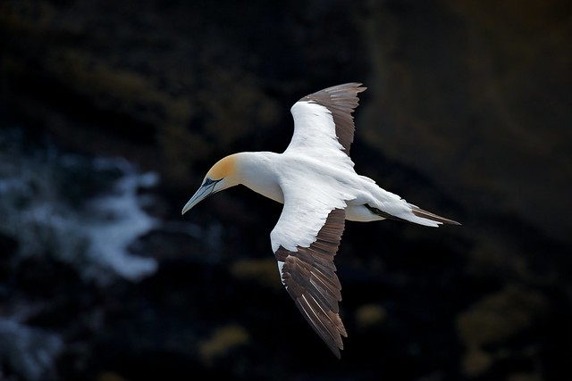 Gannet at Muriwai New Zealand