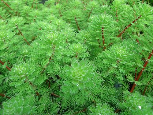 Piante myryophillum aquaticum eta beta for Piante palustri