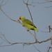 Small photo of Red-lored Parrot (Amazona autumnalis)