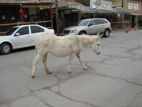 travel wild vacation arizona usa holiday tourism animal animals america us scenery view donkeys united scenic donkey tourist 66 route burro views states mules burros mule attraction oatman