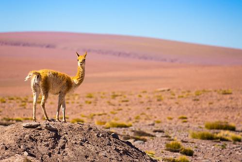 del america canon landscape san south paisaje 300mm pedro ii atacama l 70 region f4 tatio 6d antofagasta geysers vicuña vicugna