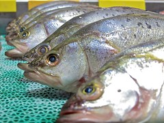 bass(0.0), trout(0.0), perch(0.0), forage fish(0.0), red seabream(0.0), milkfish(0.0), animal(1.0), fish(1.0), fish(1.0), seafood(1.0), marine biology(1.0), close-up(1.0), sardine(1.0),