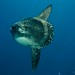 Ocean Sunfish - Photo (c) Ilse Reijs and Jan-Noud Hutten, some rights reserved (CC BY)