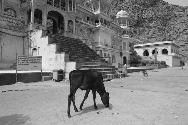 Templo de los monos de Jaipur Galwar Bagh, el templo de los Monos de Jaipur - 4172561938 cd02bea3c0 z - Galwar Bagh, el templo de los Monos de Jaipur