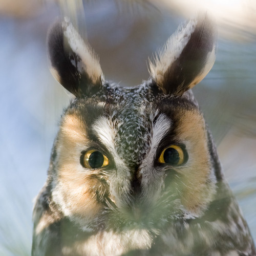 surprised long-eared owl