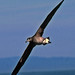 Black-footed Albatross - Photo (c) Jerry Oldenettel, some rights reserved (CC BY-NC-SA)