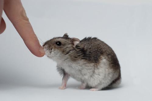 Zahmer Hamster. Foto: Maarten Dirkse, flickr.com