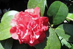 shrub(0.0), theaceae(0.0), camellia sasanqua(1.0), floribunda(1.0), flower(1.0), plant(1.0), flora(1.0), camellia japonica(1.0), petal(1.0),