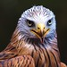 Portrait of a Red Kite = Rotmilan