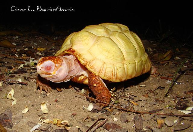 Chelonoidis Carbonaria Albina Venezuela