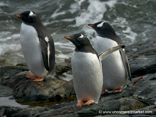 Young Gentoo Penguins - Antarctica by uncorneredmarket